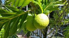 Ulu, Hawaiian Breadfruit